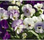 Viola hybrida 'F1 Sorbet' - Series of Single Colours