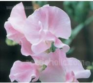 Lathyrus odoratus, Grandiflora 'Nelly Viner'