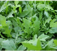Rocket, Arugula 'Pronto'