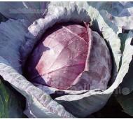 Cabbage 'Tête Noire'