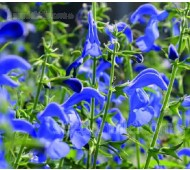 Salvia patens 'Blue Angel'