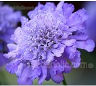 Scabiosa atropurpurea 'Tall Double Purple'