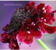 Scabiosa atropurpurea 'Tall Double Red'