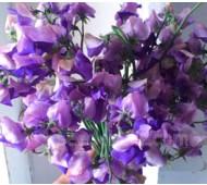 Lathyrus odoratus, Modern Grandiflora 'Erewhon'