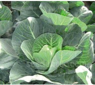 Cabbage 'F1 Winter Jewel'
