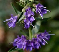 Hyssop is a strong-flavoured aromatic herb similar to rosemary or lavender which is enjoying a revival with home gardeners.