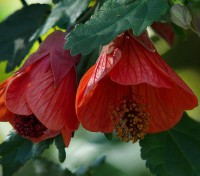 Abutilon flowers in a range of colours, from bright red and oranges, to lovely pinks pastels and whites.