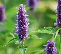 Agastache 'Liquorice Blue' has tall spikes of lavender to rich purpley blue lipped flowers