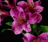 Don't be fooled by the Alstroemeria's delicate appearance, these lily-like flowers are as long lasting as they are gorgeous.