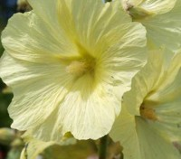 Alcea ficifolia produces large, pale butter-yellow single saucer shaped flowers that are 8 to 12cm (3 to 5in) wide from May to October.