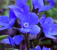 Anchusa italica 'Dropmore' spikes of rich gentian blue, giant forget-me-not type flowers
