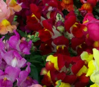 The Magic Carpet Snapdragon is one of our most familiar flowers, they have been garden favourites for generations