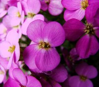 A well grown specimen can be covered in hundreds of flowers which are sweetly scented and long-lasting.