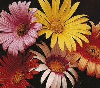 Arctotis was born to play a starring role. They are among the most brilliant of all the daisy flowers.