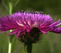 Centaurea dealbata has the unusual characteristic of being perennial and flowering in the first year.