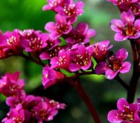 Bergenia cordifolia 'Red Beauty' produce clusters or sprays of large red bell-shaped flowers