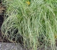 Carex Amazon Mist is a graceful ornamental grass with arching silver white evergreen foliage.