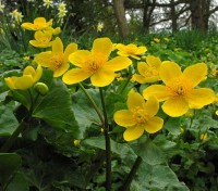Caltha palustris is believed to be one of our most ancient native plants.