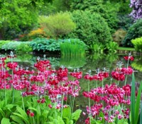 It produces whorls of scarlet-red blooms and makes a wonderful display in shady, damp spots and woodlands.