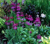 Candelabra primulas are worth growing for their sheer size and the attractive flowers that clothe the stems in whorls.
