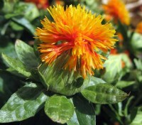 Carthamus tinctorius 'Nemo' has been bred specifically for indoor and outdoor professional cut flower production.