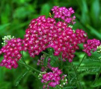 Achillea 'Cerise Queen' is a carefree and generously blooming perennial with flat-topped clusters of vibrant, magenta-pink flowers with tiny white centers.