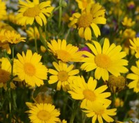 The Corn Marigold surely make this one of the loveliest wild flowers for the garden.
