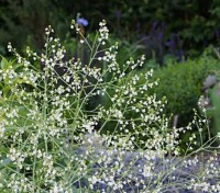 Crambe are all about stature. Plant them and stand well back.