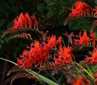 Crocosmia Lucifer Flowers