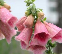 This striking plant is a hybrid between the pink flowered D. purpurea and the yellow flowered D. grandiflora.