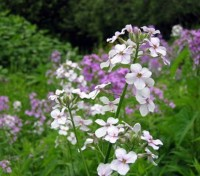 The fragrant flowers of Dame's Rocket perfume the air in late spring and early summer evenings.