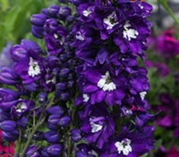 Delphinium 'King Arthur' blooms with deep, royal purple flowers, each with a brilliant white bee.