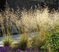 Deschampsia cespitosa is a lovely variety of ornamental grass especially valued for it's tall flower plumes.