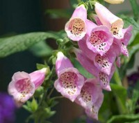 Digitalis are handsome and easy if watered well in dry weather, and look spectacular at the back of a border.