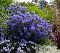 In summer Echium plantagineum bears the most beautiful dense spikes of exquisite, violet-blue flowers.