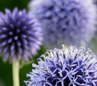 One of my favourites for the back row and I love the prickly blue balls in July.