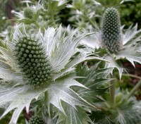 Eryngium giganteum 'Miss Willmott's Ghost' reaches its peak in a blaze of silver, the extravagantly jagged ruff to each flower veined with pale buff as it dries.