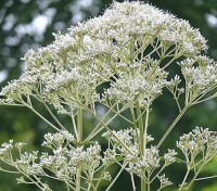 This architectural and eye catching plant bears generously clusters of ivory-white blooms.