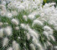Pennisetum villosum is one of the easiest and most visually stunning grasses to grow