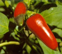 Jalapeño are among the most popular and commonly available hot chilli peppers in the world.