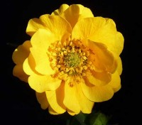 """Geum chiloense """"Lady Stratheden"""" is a grand old lady who has graced our gardens for over 80 years and is still going strong."""