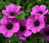 Get out the dark glasses – Geranium psilostemon has the most uncompromising colour of screaming magenta!
