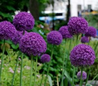 Allium giganteum is the tallest ornamental Allium in common cultivation
