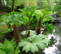 Gunnera is one of the biggest and most spectacular, architectural, herbaceous plants, commonly thought of as giant rhubarb.