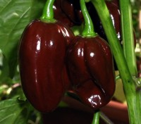 Chocolate Habanero is also known as brown or black Habanero or Congo Black.