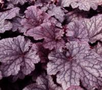 Heuchera 'Palace Purple' is a small but striking plant with plush, shiny, rich purple foliage.