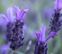 Lavender stoechas is favourite both for its intense fragrance and for the short dense flower spikes.