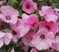 They are smothered in flowers from mid summer to autumn. The flowers are large 10cm (4in) across and are excellent for cutting.