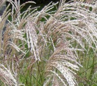 Miscanthus sinensis 'Early Hybrids'