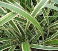 Phormium - Mixed species and hybrids
